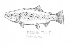 Brown-Trout-illus-GuidoRahr
