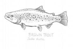 Brown-Trout-illus-GuidoRahr