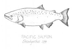 Pacific-Salmon-illus-GuidoRahr