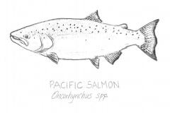 Pacific-Salmon-illus-GuidoRahr