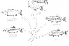 Salmonidae-family-tree-illus-GuidoRahr