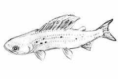 grayling-illustration