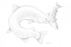 taimen-eating-salmon-GuidoRahr
