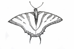 western-swallowtail-butterfly-illustration