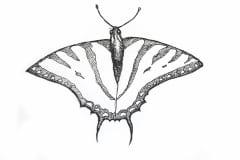 western-swallowtail-butterfly-illustration