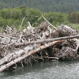Quinault River Washington log jam