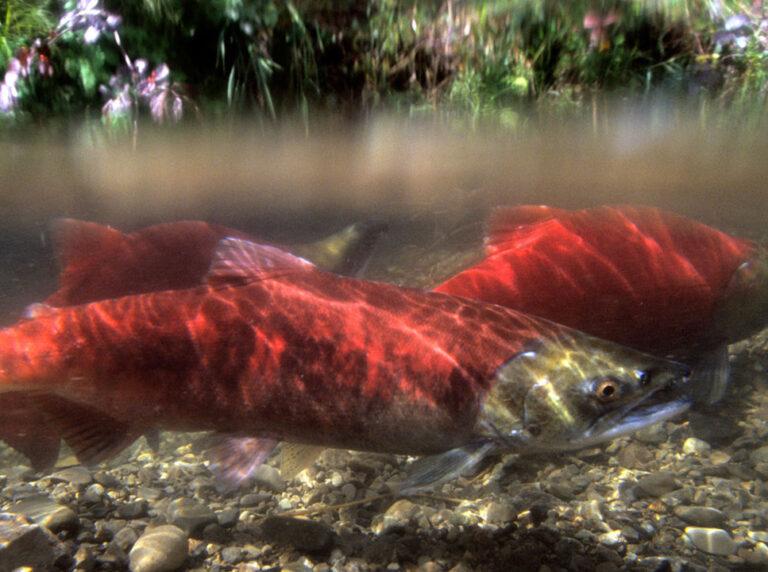 Sockeye salmon split level shot