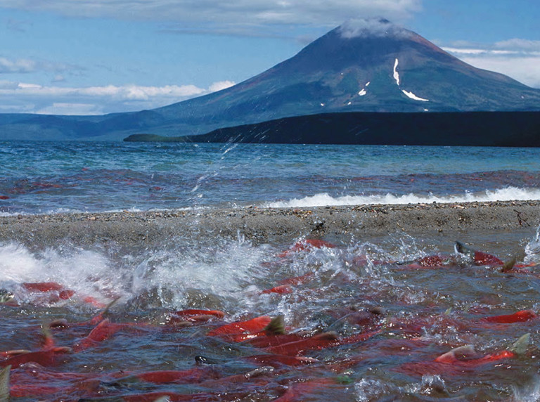 Kamchatka sockeye salmon spawning