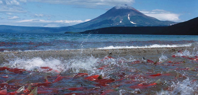 Kamchatka sockeye salmon spawning