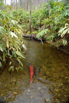 Ito Taimen Sarufutsu Environmental Conservation Forest, Hokkaido, Japan