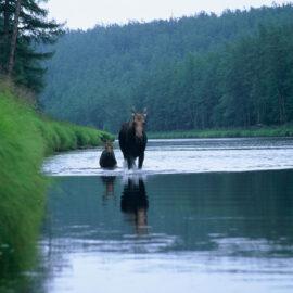 Moose and calf in Khabarovsk