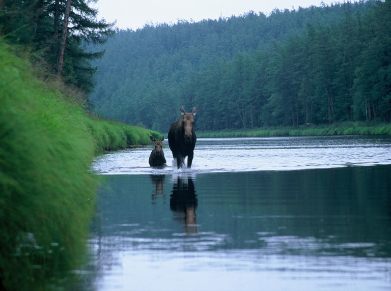 Moose and calf in Khabarovsk