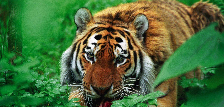 Siberian tiger, Koppi River Preserve, Russia