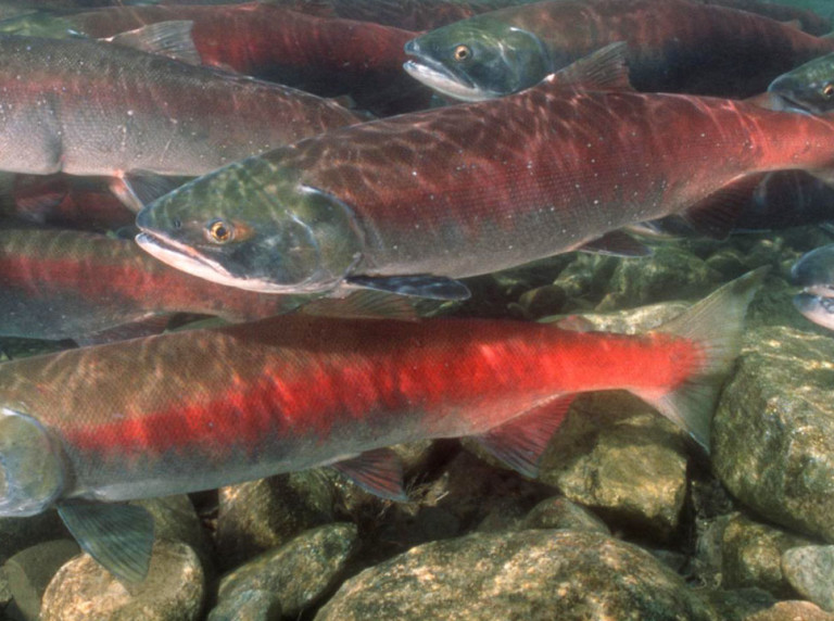 Gates Creek British Columbia Sockeye