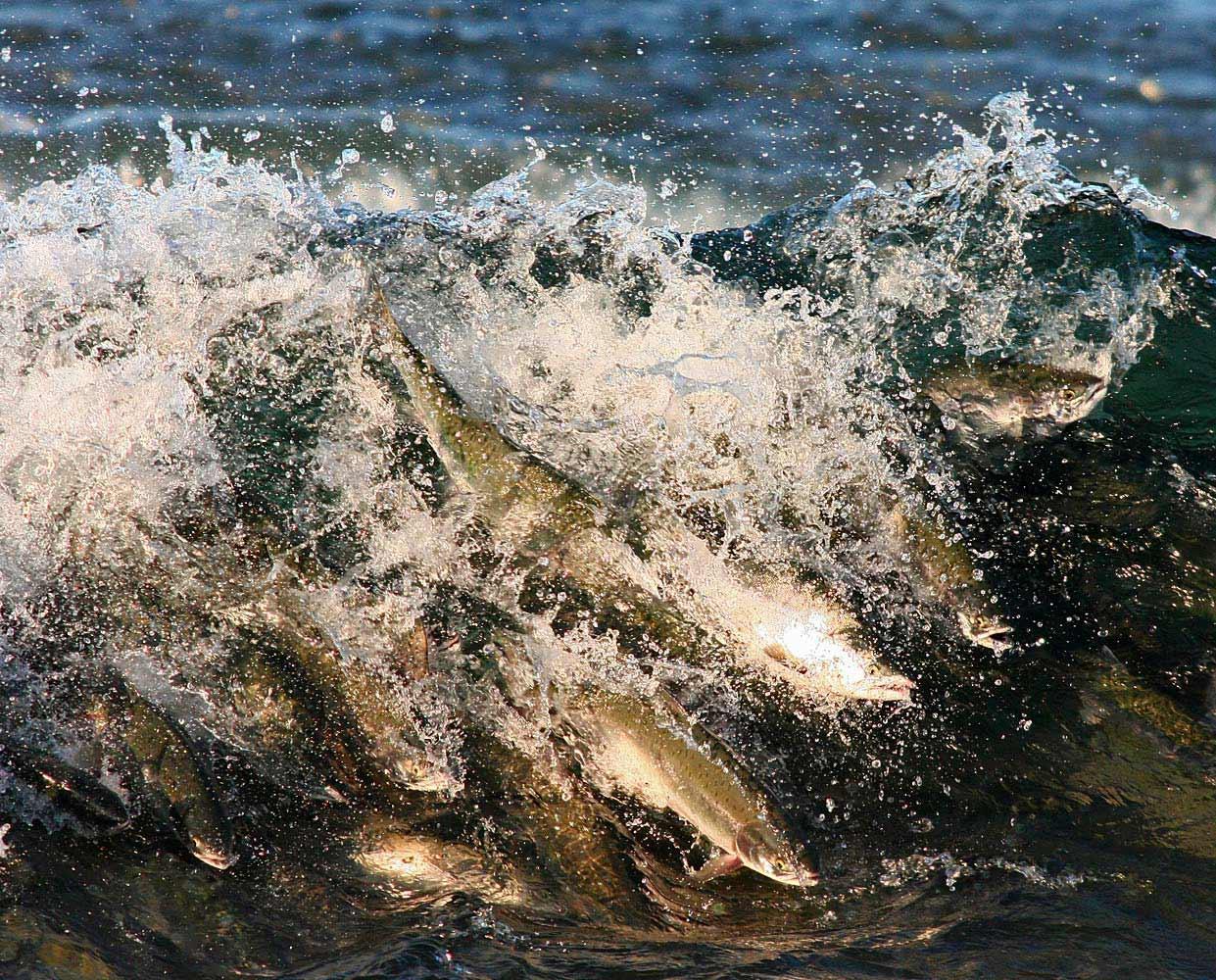 Pink salmon wave, Sakhalin, Russia
