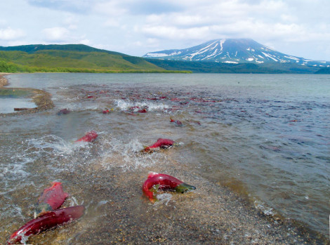 Sockeye spawn in Kamchatka's Kurill Lake.
