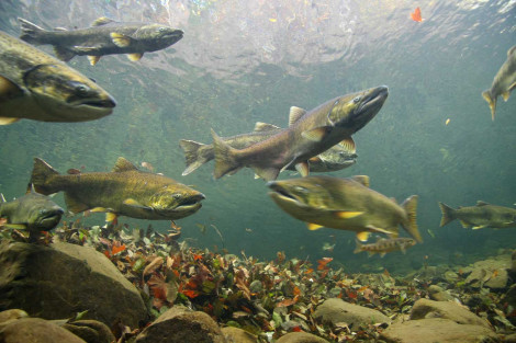 Fall Chinook Salmon Viewed Underwater