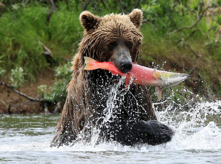 Brown bear nabs salmon in Alaska