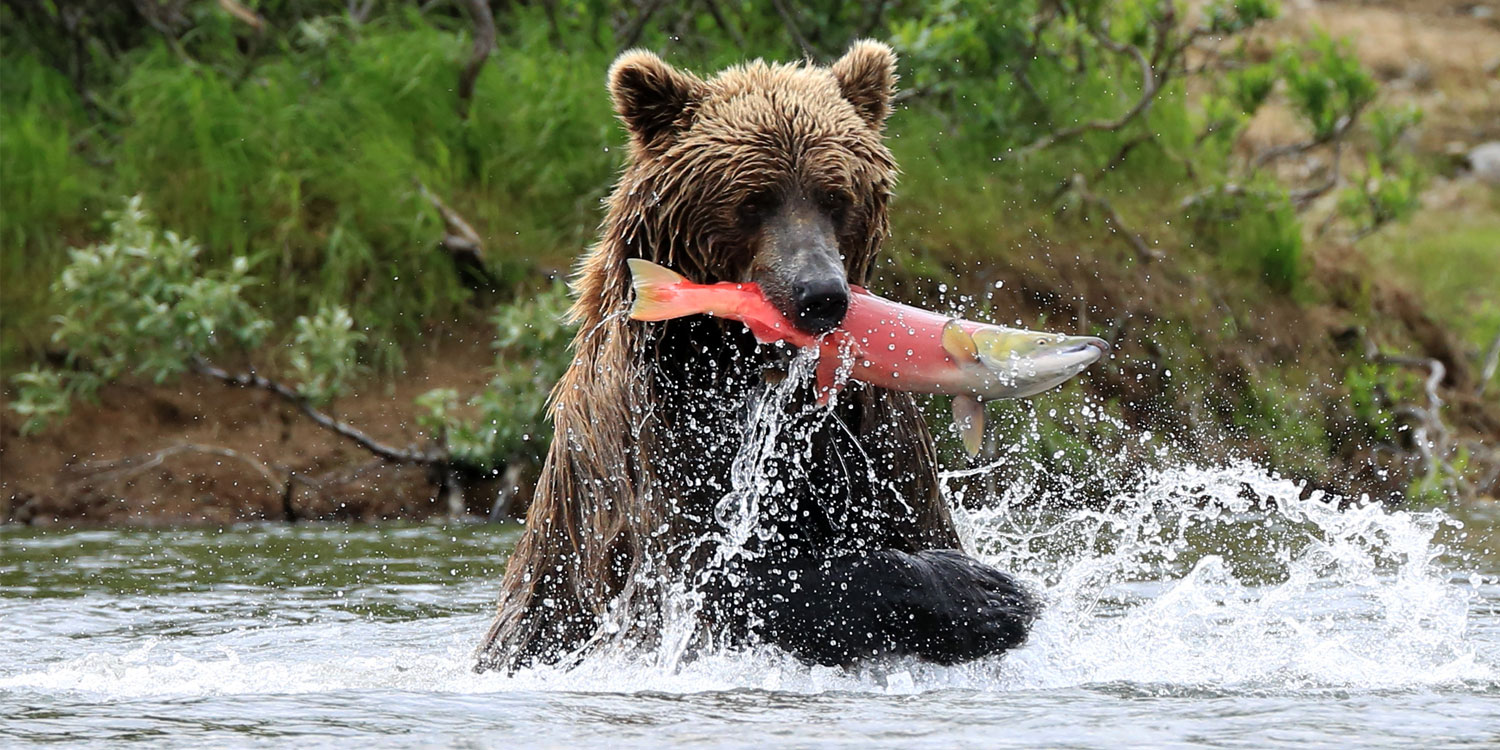 Brown bear nabs salmon in Alaska