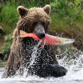 Bristol Bay, Alasksa bear
