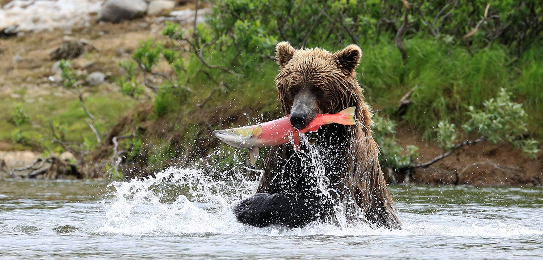 Brown Bear Catching Salmon in Alaska