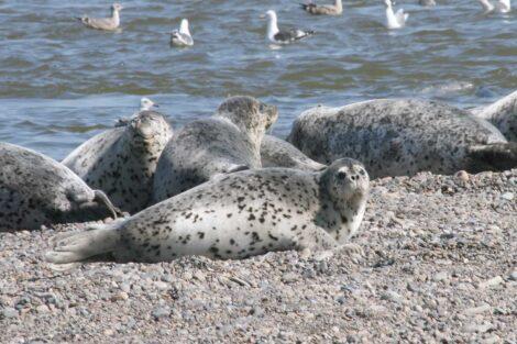 Ringed Seals Shantar Islands National Park, Russia