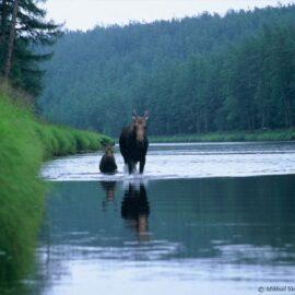 Tugur Moose