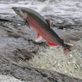 Coho salmon jumping