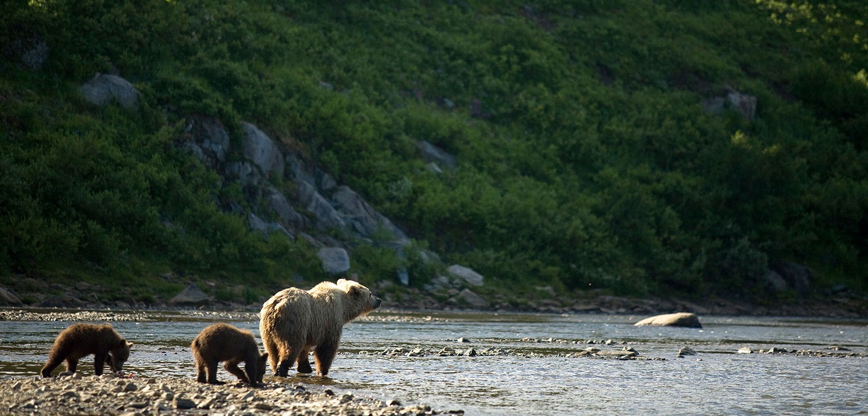 Bear cubs and mother by Bristol Bay, Alaska