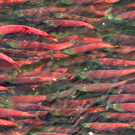 Salmon in Bristol Bay, Alaska, a key stronghold