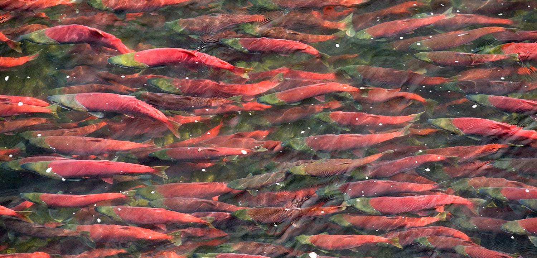 Salmon in Bristol Bay, Alaska, a key stronghold