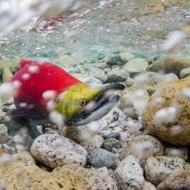 Underwater shot of a sockeye salmon in Bristol Bay, Alaska