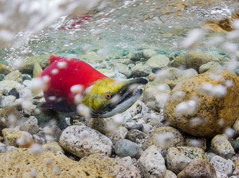 Underwater shot of a sockeye salmon in Bristol Bay, Alaska