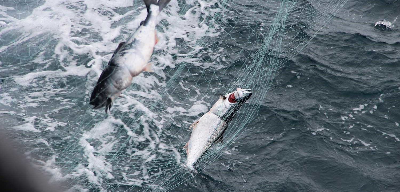Russia Driftnetting Saving Salmon Together Fund
