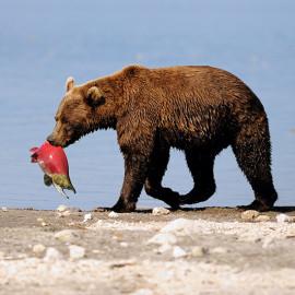 Kamchatka brown bear with sockeye salmon