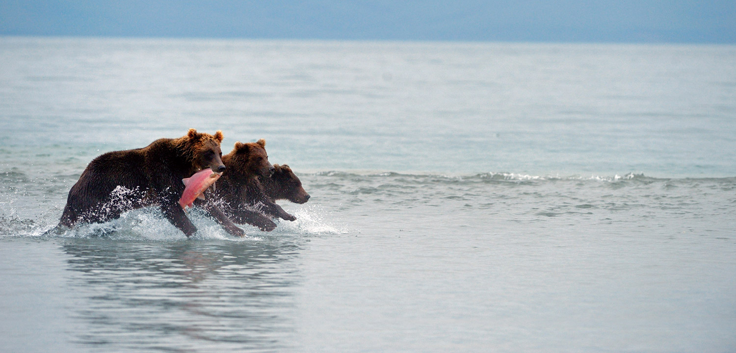 Three bears running with a salmon in Kamchatka