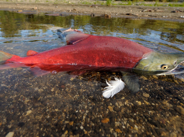 Sockeye salmon spawning in Kamchatka