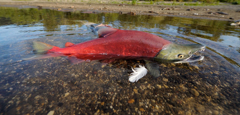 Sockeye salmon spawning in Kamchatka