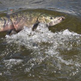 Kamchatka Salmon Festival, Saving Salmon Together