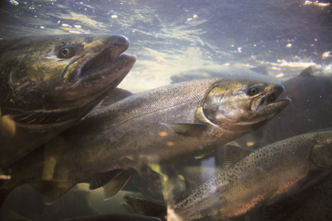 Chinook salmon at a hatchery along Oregon