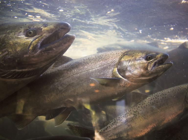 Chinook salmon at a hatchery along Oregon's Umpqua River
