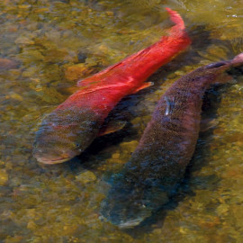 Sarufutsu Taimen Pair in Northern Japan