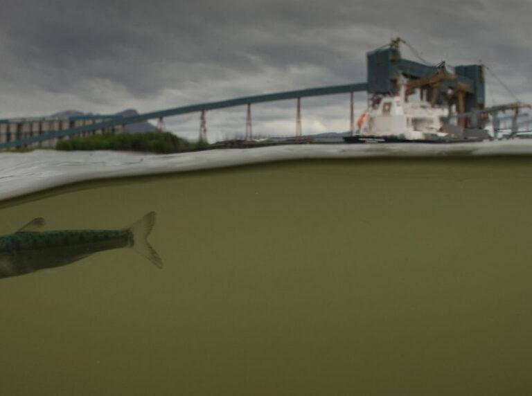 Juvenile salmon Flora Banks Skeena