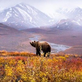 Chris Burkard, Denali National Park Grizzly, Alaska