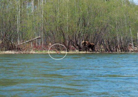 Moose, Koppi River, Khabarovsk, Russian Far East