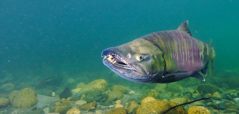 Chum salmon underwater